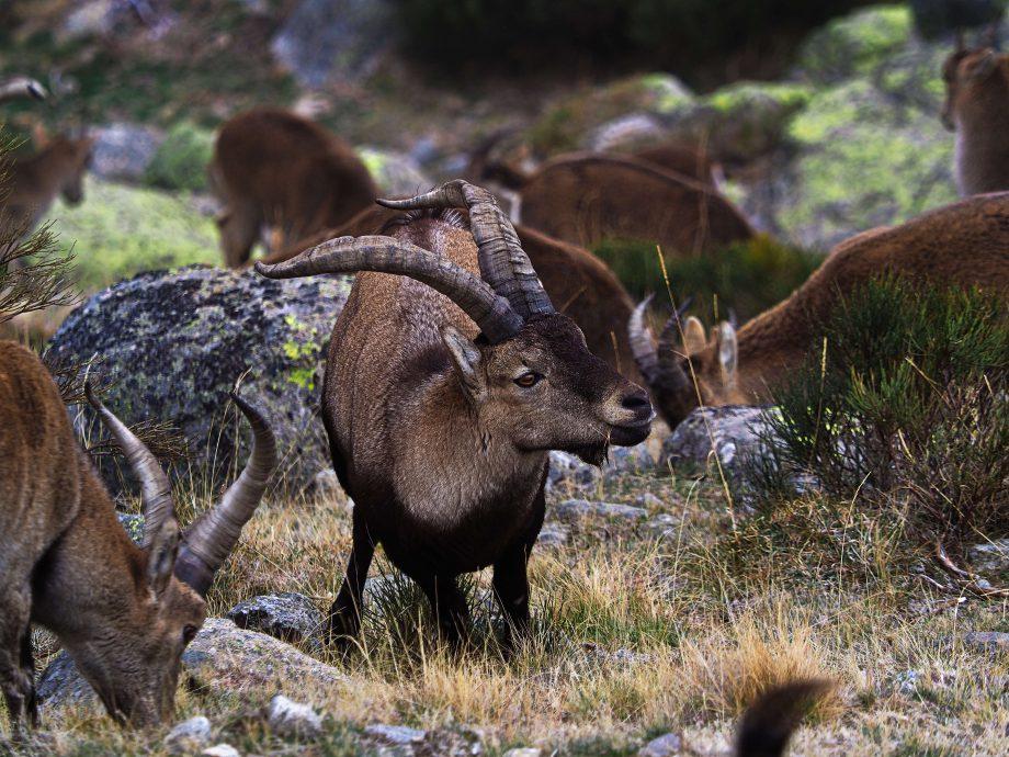 Capra pyrenaica